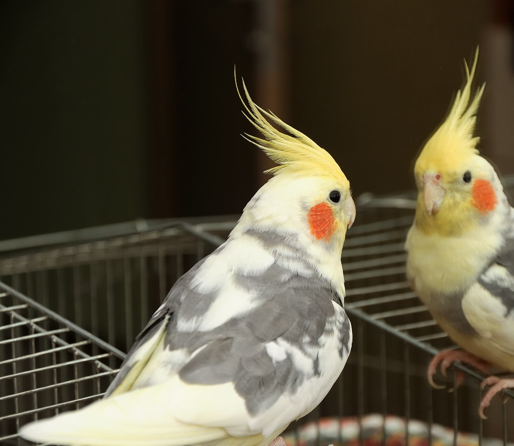The World's most recently posted photos of cockatiel and ...