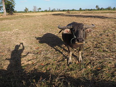 Water Buffalo Harvested Rice Field Northeastern Thailand Isaan  (hn.) Tags: copyright field animal rural thailand buffalo asia asien heiconeumeyer seasia soasien southeastasia sdostasien rice paddy farming feld reis growing agriculture ricefield northeast farmanimal ricepaddy cultivation tier waterbuffalo reisfeld isaan paddyfield surin anbau isan copyrighted upcountry esan issan harvested wasserbffel ricecultivation lndlich esarn northeastthailand bffel isarn ricegrowing prasat nordost prasart ricefarming surinprovince nordosten issarn reisanbau abgeerntet nordostthailand upcountrythailand dryricefield provincialthailand chanwatsurin amphoeprasat upcountryisaan tp201516 harvestedricefield