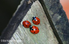 Ladybirds (Coccinella septempunctata), a gathering or group of ladybirds is known as a 'Loveliness' #ladybird #ladybug #Coccinellaseptempunctata #loveliness #Yorkshire #yorkshiredales #countrylife #countrylifestyle #cottagelife #village #villagelife #perf (Michael Hickman) Tags: insect village yorkshire ladybird ladybug yorkshiredales countrylife villagelife coccinellaseptempunctata loveliness cottagelife bbcspringwatch countryfile countrylifestyle beautifulyorkshire igeurope perfectlifestyle igcountryside fiftyshadesofnature countryfilemag natureornothing truephotolover englandsbigpicture