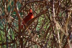 IMG_7524 (SweetMeow) Tags: bird cardinal malecardinal hiltonheadisland seapines seapinesforestpreserve