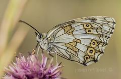 melanargia lachesis (Josep M.Toset) Tags: macro nikon catalunya animalia arthropoda insectes plantes baixcamp d800 flors fulles papallones lepidpter josepmtoset