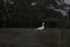 Das de colores. (Sebastian Cabuyales) Tags: naturaleza nature rain birds animals gris lluvia poem natural aves goose nublado fro mystic encanto ganso poesa intherain fri