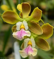 Enciclia sp (Sylvio-Orqudeas) Tags: flowers flores orchids orchidaceae species orqudeas encyclia espcies