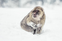 Barbary ape (Macaca sylvanus), ( - Ralf) Tags: schnee snow animal tierpark schwarzwald tier affe wildpark barbaryape schwarzwaldpark berberaffe