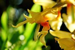 """スタンホーペア・エコルヌタ /Stanhopea ecornuta (nobuflickr) Tags: orchid flower nature japan botanical kyoto 日本 花 蘭 """"the garden"""" 京都府立植物園 awesomeblossoms stanhopeaecornuta ラン科スタンホペア属 スタンホーペア・エコルヌタ 20151212dsc04997"""