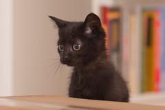 IMG_3070 (BalthasarLeopold) Tags: pet cats pets animal animals cat blackcat mammal kitten feline dof kittens felines blackcats indoorcat dephtoffield scratchpost