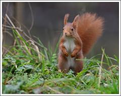 faire son intéressant (guiguid45) Tags: nature nikon squirrel animaux écureuil sauvage loiret mammifères 500mmf4 d810 spitzenfotos