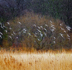 Winter in the Park (Gill Stafford) Tags: park seagulls public water birds wales reeds pond image gulls photograph conwy northwales reedbeds gillys abergele gillstafford imagegillstafford ppentremawr