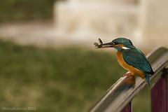Alcedo atthis II | Guarda-rios II (M Lemos) Tags: commonkingfisher alcedoatthis guardarios martinpêcheur isfugl martinpescatore martínpescador blauet kungsfiskare