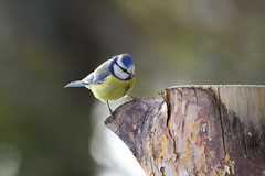 Blmeis / Blue tit (braerik) Tags: wood blue yellow stump skog fugl bluetit gul meis bl blmeis smfugl vedstubbe