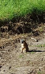 The Santa Cruz Island fox