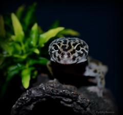 Gizmo 2 (purplepheonixx) Tags: pets cute reptile gecko gizmo leopardgecko reptilepets