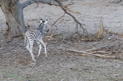 Steppenzebra / Plains Zebra (brainstorm1984) Tags: wildlife central safari zebra botswana colt steppenzebra fohlen plainszebra makgadikgadi burchellszebra commonzebra botsuana boteti makgadikgadipansnationalpark equusquagga leroolatau pferdezebra desertdeltasafaris makgadikgadipansgamereserve elangeniafricanadventures