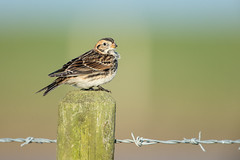 Lapland Bunting (Andrew Haynes Wildlife Images) Tags: