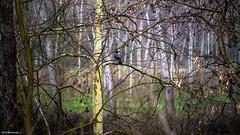 Cornacchia Grigia (barmando2011) Tags: natura uccelli cornacchia barmando
