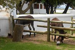 Donkeys (RobW_) Tags: march farm donkeys saturday western cape paarl 2016 simondium babylonstoren 05mar2016
