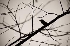 Neti! Neti!! (Ramesh Adkoli) Tags: bw bird landscape blackwhite lalbagh capturenx d800e