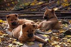Puppies (MelindaChan ^..^) Tags: china animal puppies guilin mel melinda guangxi 桂林 廣西 chanmelmel melindachan 小平樂 海洋鄉