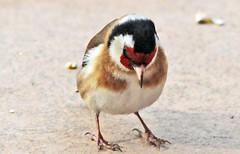 Chardonneret lgant (laurent KB) Tags: goldfinch oiseau stieglitz lgant chardonneret