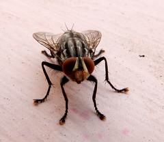 DSCN3226A (amit_gaur) Tags: macro up fly nikon close amit gaur s9900