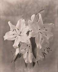 Buona Pasqua (Giovanni Savino Photography) Tags: easter lilies xray pasqua happyeaster largeformatphotography gigli caffenolc magneticart giovannisavino