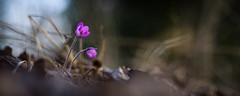 Red Hepaticas (Nyllet) Tags: sunlight flower grass leaves bokeh straws hepatica meyeroptikgrlitztrioplan10028