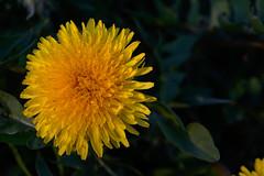 20160331_0040 (mystic_violet) Tags: vienna wien flower yellow austria sterreich spring gelb blume frhling lwenzahn schneswetter gewhnlicherlwenzahn taraxacumsectruderalia nikond3300 darktable