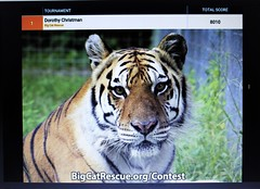 BigCatRescue needs your vote! (not a box brownie) Tags: rescue usa cats canada animal animals cat kitten feline tiger unitedstatesofamerica contest lion kittens competition leopard jungle tigers pumas cheetah panthers jaguar liger puma bobcat wildcat vote panther cougar bengal sanctuary lynx ocelot serval caracal cheetahs cougars savannahs bobcats wildcats leopards servals tigrina ocelots margay jaguarundi pixiebobs bigcatrescueorg guigna chausies safaricats margays lioons