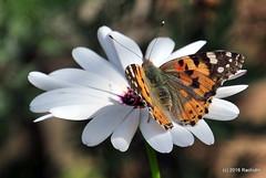 DSC_0130 (rachidH) Tags: flowers vanessa nature cosmopolitan blossoms egypt butterflies insects bee cairo papillon daisy blooms dame africandaisy cynthia paintedlady osteospermum vanessacardui blueeyeddaisy vanessedeschardons labelledame vanesse rachidh