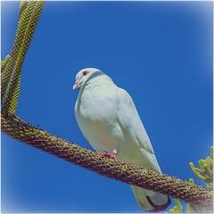 PALOMA (BLAMANTI) Tags: aves palomas
