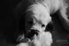 Nap. (53Hujanen) Tags: portrait blackandwhite bw dog animal animals canon suomi finland eläin lappeenranta dogportrait koira canonef35mmf20 clumberspaniel canoneos450d clumberinspanieli