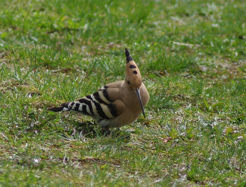 Hoopoes are back.1