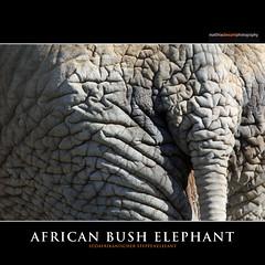 AFRICAN BUSH ELEPHANT (Matthias Besant) Tags: africa elephant animal animals mammal deutschland tiere hessen african afrika elefant mammals tier opelzoo afrikanischerelefant saeugetier saeugetiere africanbushelephant afrikanisch savannaelephant bushelephant steppenelefant africanbushelephants ruesseltier savannaelephants ruesseltiere afrikanischerelefanten bushelephants matthiasbesant africanaelefanten