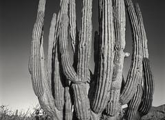 Giant cactus, Southern Baja, Mexico (arbabi) Tags: blue cactus moon nature yellow sunrise landscape mexico golden desert fullmoon bajacaliforniasur moonset cabosanlucas todossantos seanarbabi bajadesert playasanpedro southernbaja