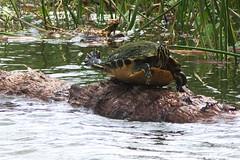 DSC_0056 (james_tolson) Tags: florida crane wildlife gators sandhill sandhillcranes alligators