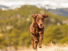 Open Space to Gallop (KB RRR) Tags: dog colorado rockymountains frontrange chocolatelabrador shyla