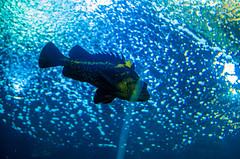 IMGP5320 (cimp8499) Tags: fish oregon aquarium underwater newport newportaquarium deepsea newportoregon