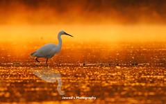 Walk on the Gold (Jawad_Ahmad) Tags: light mist nature beautiful gold bokeh wildlife flicker naturephotography naturelover sialkot wildbird