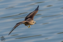 Juvenile Brahminy Kite (Saeed Lajami) Tags: india birds canon wildlife karnataka juvenile in brahminykite mysuru