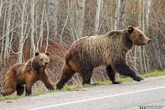 Look both ways (Henry T. Cadwalader) Tags: road bear wild nature animal nationalpark nikon day crossing earth wildlife bears grizzly jacksonhole wy natureconservancy wildlifephotography jacksonwy