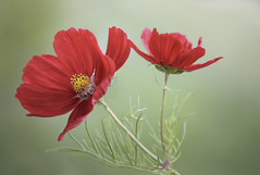 Cosmos (Mandy Disher) Tags: red summer flower nature beauty cosmos
