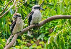 Laughing Kookaburras (Chris Rose on Tour) Tags: laughing wildlife hans australia kookaburra lachender eisvogel