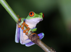 Red-eyed Tree Frog - Laguna Lagarto, Costa Rica (Hard-Rain) Tags: nature rainforest costarica outdoor wildlife amphibian frog jungle redeyedtreefrog