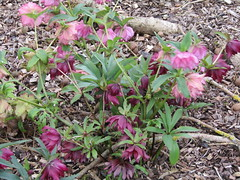 Hellebore (wallygrom) Tags: flowers england flower westdean westsussex explore hellebore helleborus purpleflowers singleton westdeangardens april2016
