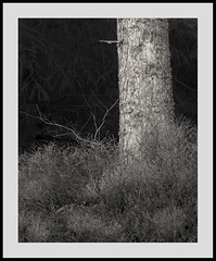 (Gibbom) Tags: park tree texture nature monochrome sign forest dark point pattern natural bark trunk snowdonia northwales indication