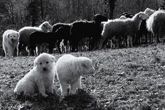 watch and learn (Alessio Pagani) Tags: dog cane puppy sheep livestock guardian heard puppys appennino lupo cani maremma pecore cuccioli pastori gregge maremmani guardiania