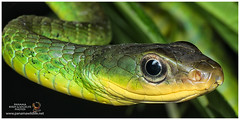 Green Sipo, Green Racer or Green Whipsnake / Ranera Verde (Panama Birds & Wildlife Photos) Tags: macro nature snake wildlife culebra panama naturephotography macrophotography wildlifephotography panamawildlife