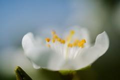 B L   M (rainbowcave) Tags: macro beautiful blossom bloom blte