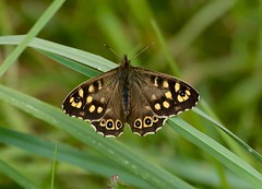 Speckled Wood ------ Pararge aegeria (creaturesnapper) Tags: uk europe butterflies lepidoptera speckledwood nymphalidae parargeaegeria stockerslakenr