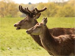 Mr & Mrs (Mabacam) Tags: london nature animals outdoors wildlife velvet richmond deer antlers openspace reddeer richmondpark 2016 paark